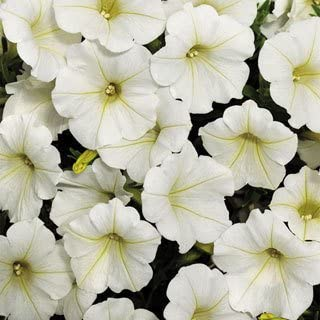Shock Wave Coconut Petunia Seeds Seed Pack