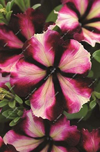 Pinkdose 2016 nouveau Berserk Promotion spéciale Balcon Pot rouge Rare plantes blanc Petunia fleurs plantes à fleurs 50 particules/lot: Deep Blue