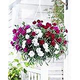 。花の種子:カーネーションエクスプレス愛の種子冬の花モデルガーデン[ホームガーデンの種子エコパック】植物の種子