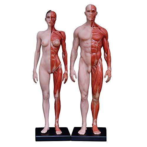 美術人体モデル人体筋肉アート解剖モデルリンイアートリファレンスモデル 男性+女性グループ(高さ:11インチ30 cm)