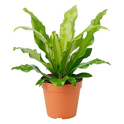 American Plant Exchange Birds Nest Fern Japanese Live Plant, 6' Pot, Indoor/Outdoor Air Purifier
