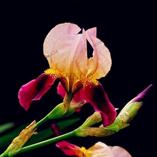 50pcs / color de la bolsa mixta, semillas de iris, semillas de orquídeas Iris, semillas de la herencia tectorum perenne raros de la flor, planta para el jardín de 17