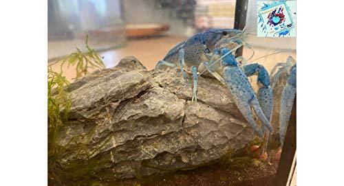 Topbilliger Tiere Blauer Floridakrebs - Procambarus alleni