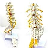 Zoom IMG-2 albb modello anatomico di colonna
