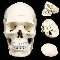 頭蓋骨モデル、人体解剖学医学解剖学モデル解剖学ヘッド人間の頭蓋骨研究用品教育解剖学19.5 * 15 * 21 Cm、学校のプレゼンテーションツール用