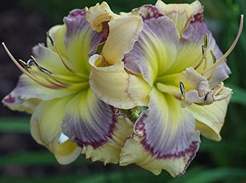 Taglilie bevorzugt viel Sonnenlicht,Blühende Terrassen,Starke Wachstumsgewohnheiten,Taglilie wächst schnell,Taglilien Zwiebeln,Stauden,große Taglilie Zwiebeln-3 Zwiebeln,a