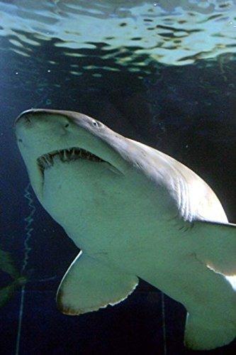 The Poster Corp David Wall/DanitaDelimont – Shark at Manly Aquarium Sydney Australia Photo Print (60,96 x 91,44 cm)