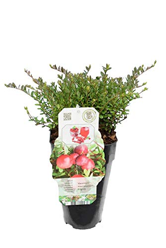 Cranberry - Vaccinium macrocarpon Pilgrim - Gesamthöhe 30-40 cm - Topf 2 Ltr
