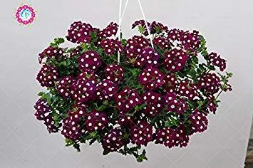 graines 100pcs Verveine seeds.Verbena HORTENSIS, graines de bonsaï rares fleurs Hanging plantes balcon intérieur fleurs pour le jardin de la maison 2