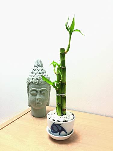 Easy Plants 1 Lucky Bamboo en Pleine Croissance dans Le Sol avec Pot en Porcelaine ? Riz Motif