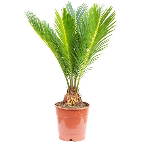 Palmfarn 6+ Wedel - Cycas revoluta - Höhe ca. 45 cm, Topf-Ø 12 cm