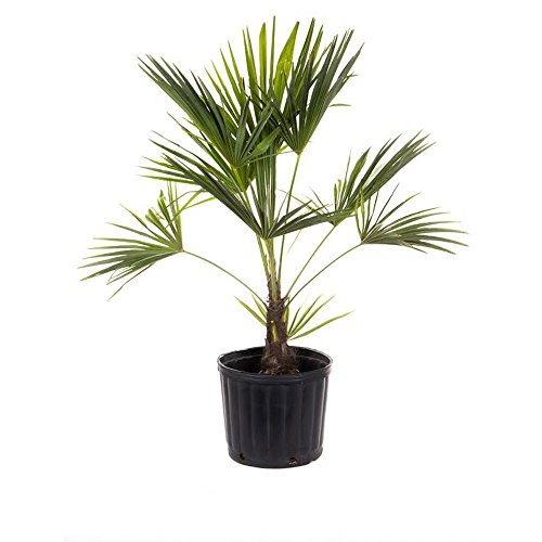AMERICAN PLANT EXCHANGE Windmill Palm Tree - Cold Hardy 2ft Height Live Plant, 2 Gallon,...