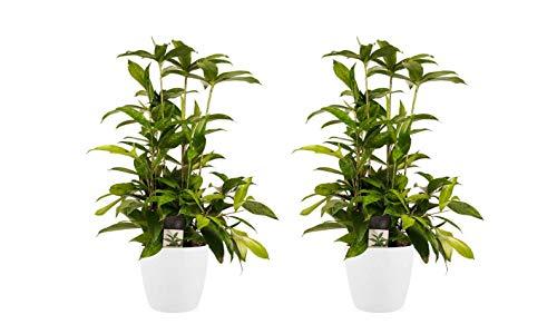 Zimmerpflanzen – 2 × Drachenbaum in...