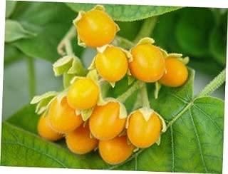 TYU Tamarillo Tree Tomato Seeds - LY2010 (25 Seeds)