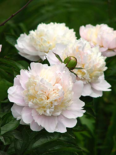 1 Bare Root of Paeonia Shirley Temple Size 2-3 Eye Bare Root Plant, Peony