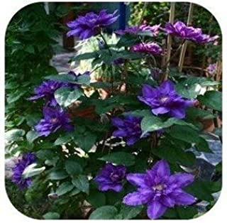 Seed - Clematis Bulbs Mix Hybridas Climbing Plants Landscaping 50 /Bag Flower for Home