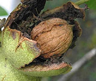 Seedling English Carpathian Walnut Edible Nut Tree Seedling Live Plant No Shipments to California or Hawaii Get 1 Seedling #BC01YN