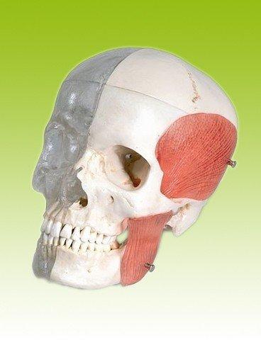 Schädel BONElike Transparent/Knochen, 8-teilig - A282