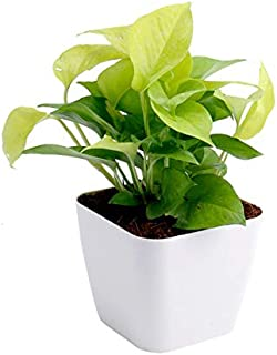 Live Money Plant with White Plastic Pot