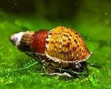 *5 x Genoppte Turmdeckelschnecke - Melanoides granifera/Der lebende Bodengrundreiniger im Aquarium! + 1 x NH Schneckenfeed 10g