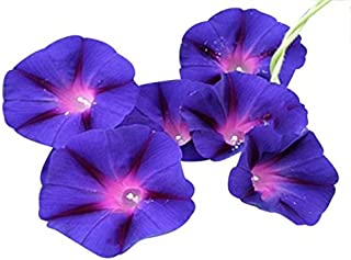 Amazon com: morning glories seeds