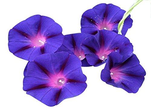 Grandpa OTT Purple Morning Blooming Vine Seeds - Approximately 165 Seeds