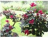 Fresca VAR Loropetalum Chinense. Exótico Semilla Bonsai plantas raras rubrum 'Daruma' -5 Semillas
