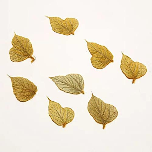 Artificial and Cheap Dried Flower 60pcs 3-4cm Kuz Pressed Ranking TOP3