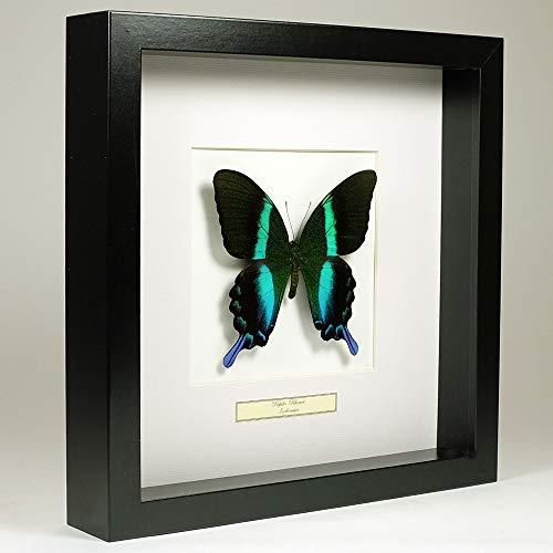 De Museumwinkel.com Papilio Blumei - Pfau Schwalbenschwanz - Echter präparierter Schmetterling montiert unter Glas in handgefertigten schwarzen Holzrahmen