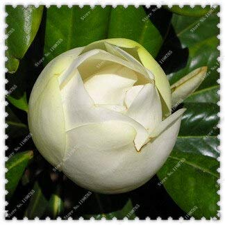 100 Pcs/Sac Huang Yulan Magnolia Graines Magnolia Fleurs Graines, Bonsaï Plant Home Garden