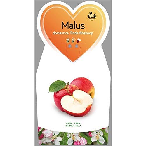 Apfel 1 Stück Malus domestica Roter Boskoop Halbstamm T17x17 Obst
