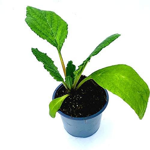 Borretsch BORAGO OFFICINALIS Kräuterpflanzen