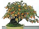 ASTONISH SEEDS: 20 semillas de caqui, Dioros Kaki, exótico Bonsai, Hermoso y deliciosa de la fruta del árbol, semillas de frutas