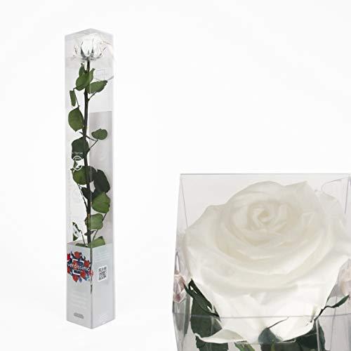 Inter Flowers - 1x Rose - 50cm - WEISS - preserved, konserviert - gefriergetrocknete Blumen, ewig blühend, sehr lange haltbar Rose Blume Haus Mini Dekoration Geschenk Unikat Special in Geschenkbox
