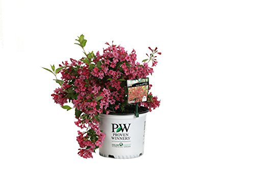 Sonic Bloom Pink Reblooming Weigela (Florida) Live Shrub, Pink Flowers, 3 Gallon