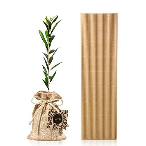 Arbol Olivo Natural 30-40 cm variedad Olea Europaea Arbequina en caja carton ondulado regalo