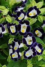 Details About Torenia Kauai Blue-White 250 Seeds Need More? Ask