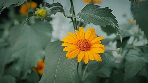 SOW PERFECT Las Semillas de Flor Creativa Farmer: Genda Caléndula Naranja Paquetes de Semillas - Semillas jardín de Flores Paquete