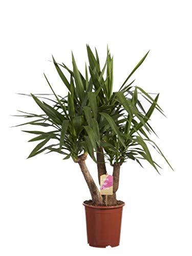 FloraStore - Yucca Elephantipes Fair Flora 80 cm (1x), Pot Ø 24 CM, Plante d'Intérieur