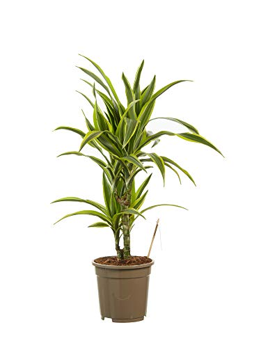 Dracaena lemon Lime | plante d'intérieur| hauteur 70 cm | Pot 17 cm | Entretien facile