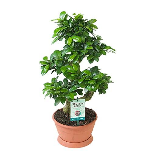 Ficus microcarpa GINSENG | Bonsaï en forme de S | Plante verte d'intérieur | Hauteur 50-55cm | Pot de Ø 22cm