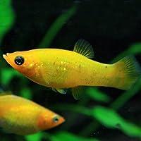 (熱帯魚)ゴールデンダストモーリー (4cm)<4匹>[生体]