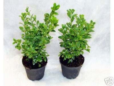 50 Buchsbaum Pflanzen im Topf, Buxus sempervirens, Höhe: 15-20 cm