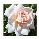 Rosa Climbing Rose 'Penny Lane' Plant