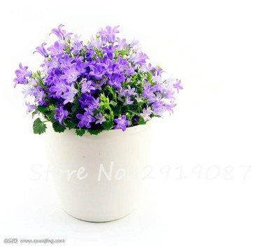 50 Pcs Campanula Graines rares Fleur Plante en pot Couleurs mélangées 95% Taux de bourgeonnement vivaces Plantes Bonsai Maison et Jardin 2