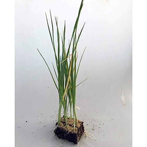 Gemüsepflanzen - Porree/Lauch - Allium porrum - 12 Pflanzen