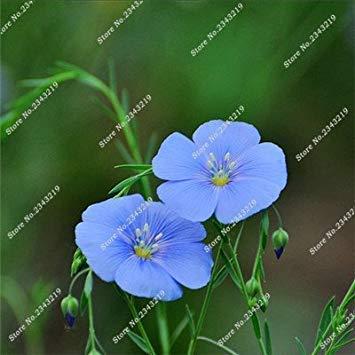 Blau Leinen Blumensamen Balkon Hausgarten Blühende Pflanzen Import Leinsamen Indoor-Party Dekorative Einfache 120 Stück wachsen 2