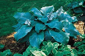 Fash Lady 100 Teile/Beutel hosta Pflanzen samen, mehrjährige Plantain Lilie Blume Bodendecker blumensamen, kostbare hosta samen hausgarten anlage 18