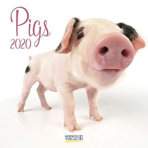 Pigs 2020: Broschürenkalender mit Ferienterminen. Süße Nahaufnahmen von Ferkeln vor weißen Hintergrund. 30 x 30 cm - Wandkalender