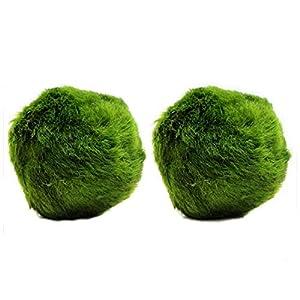 k2aqua 2 LARGE Marimo Moss Balls, Always Fresh Live Aquarium Plant, Cladophora aegagropila
